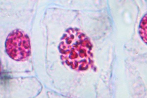 animal cell in telophase. Animal Cell Prophase. before