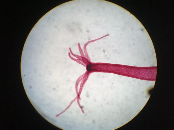 Image Gallery hydra under microscope