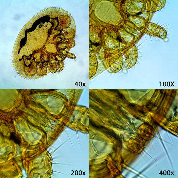 The image shows the Varroa mite at different magnifications.