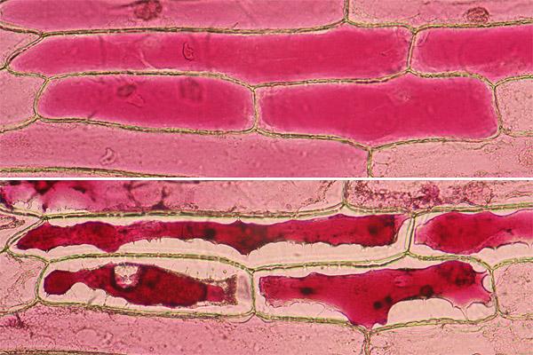 Onion plasmolysis